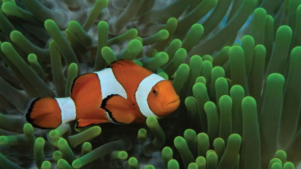 An increase in CO2 inteferes with the ability of the fish to hear, smell, turn and evade predators.