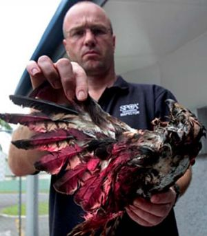 Palmerston North SPCA manager Danny Auger holds the frozen carcass of a hawk spray-painted red.