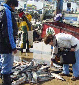 Jack mackerel sold in Valparaiso in Chile.