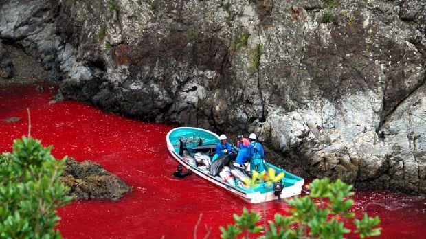 A file photo taken on October 6, 2003  shows Japanese fishermen riding a boat loaded with slaughtered dolphins at a ...