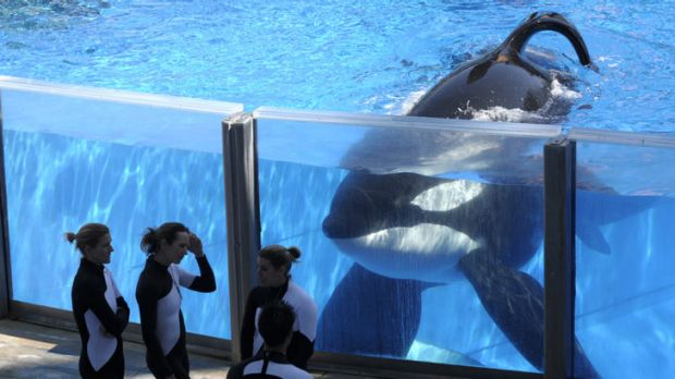 Orca Tilikum watches SeaWorld trainers take a break during a training session at theentertainment group's Orlando theme park.