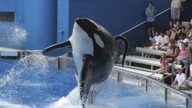 'Hell unleashed' ...An orca performas at Sea World Orlando.