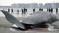 People look at a stranded sperm whale in Heist, Belgium