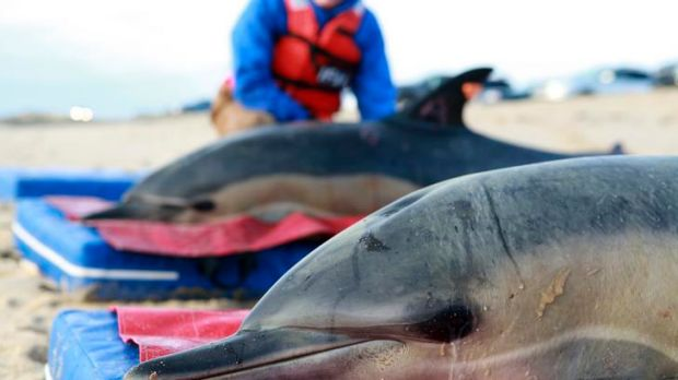 Mystery ... hundreds of dolphins have washed up on shore in Peru.