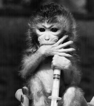 A pigtail macaque.