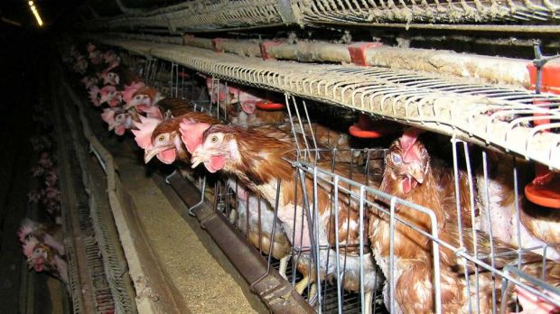 Let S Be Good Sports And Abolish Battery Cages