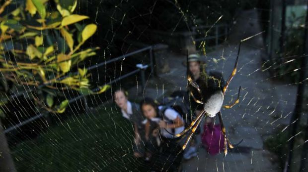 Intricate work ...  golden orb weavers such as this one in Cooper Park, Woollahra are thriving in the unseasonably wet ...