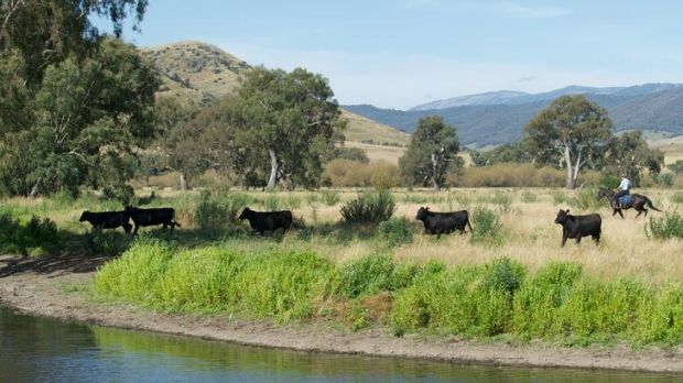 Cattle grazing alongside the Murray River at Towong Hill Station.