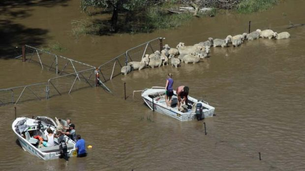 Rescue operation … farmers try to lift stranded sheep into boats north of Wagga Wagga.