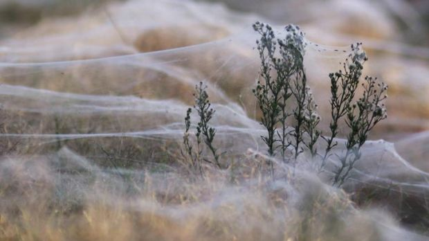 A wild plant is covered in webs in Wagga Wagga.