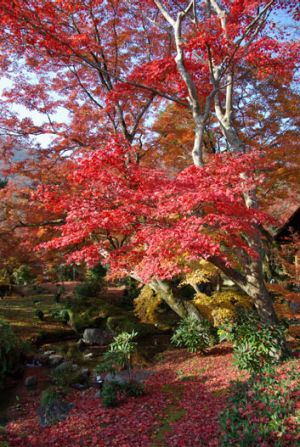 Maple trees provide dramatic autumn colour.