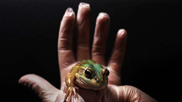 A living germ killer … a green and golden bell frog at Taronga Zoo. It belongs to a species which secretes ...