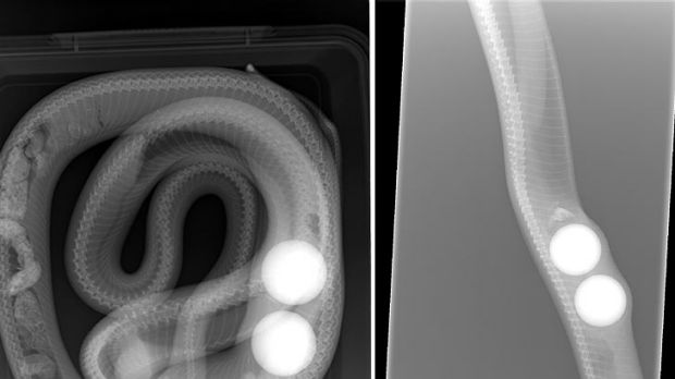 X-rays reveal golf balls inside the carpet snake.