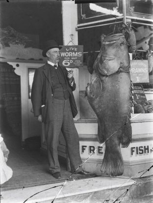 Giant Queensland groper (or grouper) - Epinephelus lanceolatus. State Library NSW.