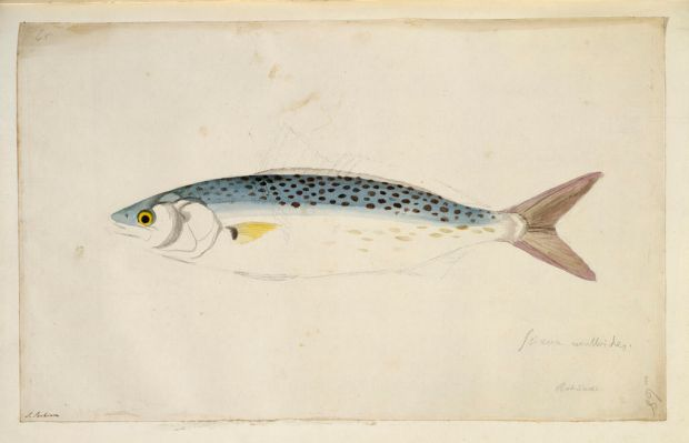 Arripis trutta, Australian salmon. Made during Captain James Cook's first voyage to explore the southern continent ...