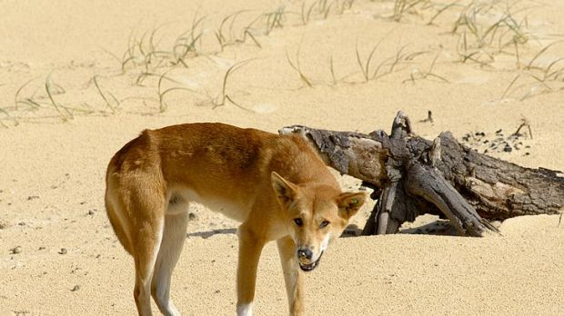 Queensland Parks and Wildlife Service has warned holiday makers travelling to Fraser Island to be wary of aggressive ...