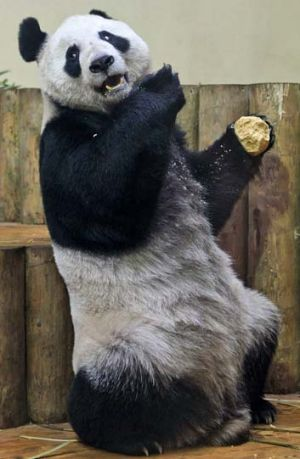 Female panda Tian Tian.
