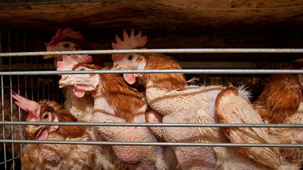 Chickens caged inside the farm's shed.