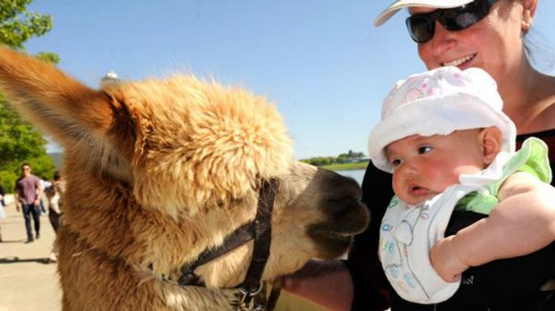 The Royal Diary: Alpaca therapy for crowd