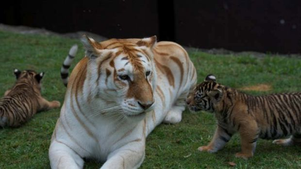 The new cubs get to know Bengal tiger Sita.