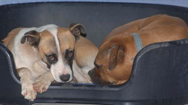 Two of the cross-breed hunting dogs who were involved in the fatal attack on four-year-old Tyra Kuehne.