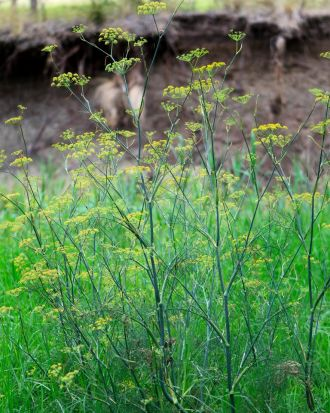 Wild fennel (sweet fennel, Foeniculum vulgare) The feathery leaves resemble dill and small yellow flowers grow on ...