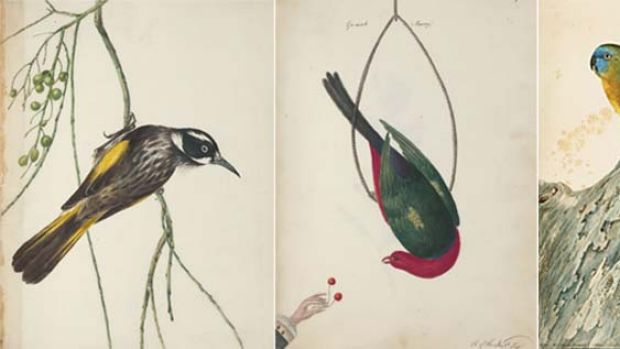 Native beauties ... images of Australian birds by Governor John Hunter (left and centre); a parakeet by John Lewin (right).
