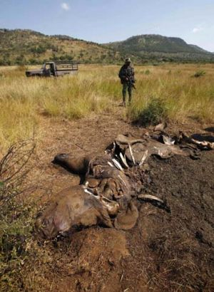 Worth more than its weight in gold ... the scene of a rhino poaching incident is guarded by members of the Pilanesberg ...