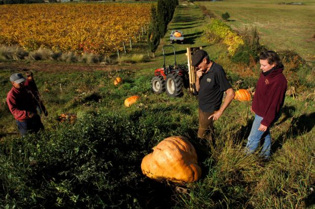 Jim Lumbers on his Lerida Estate property in the small town of  Collector with his massive pumpkins  to be entered in ...