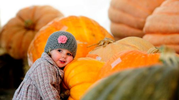 Mia Buser, 2 of Palmerston takes a closer look at the winning pumpkins on display at the Collector pumpkin festival.