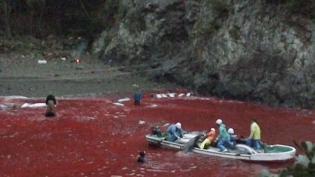 Bloodbath … a scene from the documentary <i>The Cove</i>.