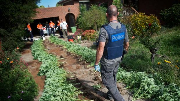 Bust ... police with marijuana plants in Melbourne last month.