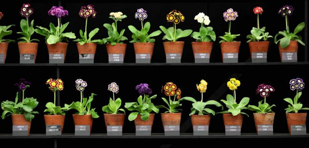 Auricula plants on display in the Great Pavilion.