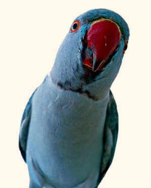 Unwitting parrots are finding themselves at the centre of court custody battles.