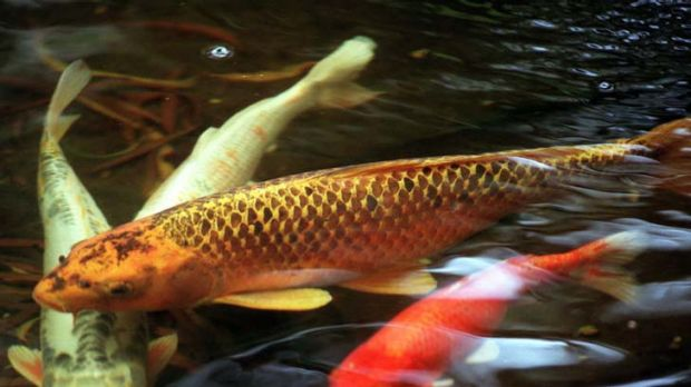 Cashing in on koi for Koi fish australia