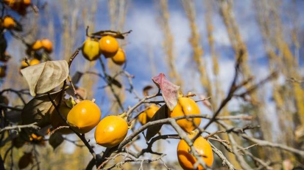 Persimmons on the tree at Pialligo Apples.