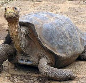 Endangered … the Galapagos giant tortoise.