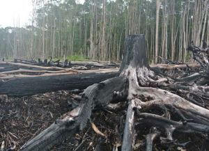 Finite resources ... peat land recently cleared by burning.