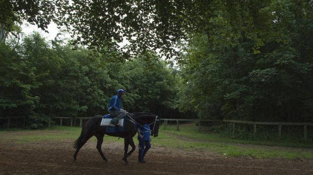 Black Caviar ridden by Paddy Bell makes her way back to the stables after a canter on the Al Bahathri gallops prior to ...
