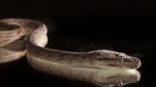 At night-time, the Oenpelli python turns a shimmery silver.