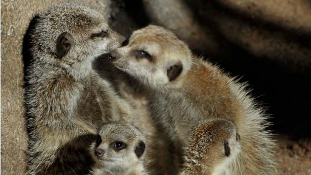 Meerkat kittens make their first public appearance at Melbourne zoo.