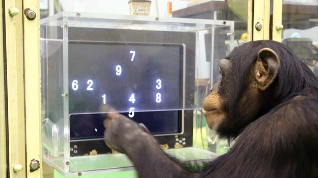 A 5 1/2-year-old chimpanzee named Ayumu performs a memory test with randomly-placed consecutive Arabic numerals, which ...