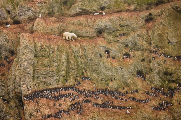 World Press - 1st prize Nature Singles. A young male polar bear climbs on a cliff face above the ocean at Ostrova ...