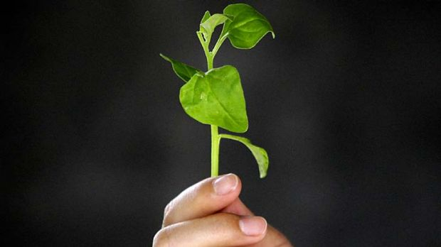 Makes you strong ... a worker holds New Zealand spinach after he picked it from a greenhouse at an organic farm located ...