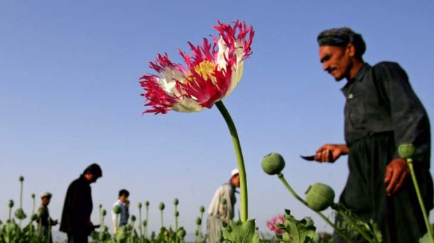 Drug problem on the move ... The UN says the production of opium soared by 61% since 2010.