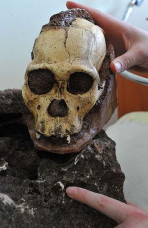 A South African scientist shows a tooth of <i>Australopithecus sediba</i> hidden in a rock excavated from an ...