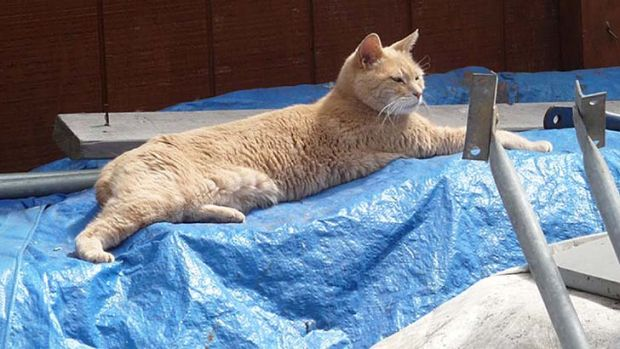 Born to rule ... Stubbs, a 15-year-old yellow cat who has been overseeing the town since shortly after he was born.