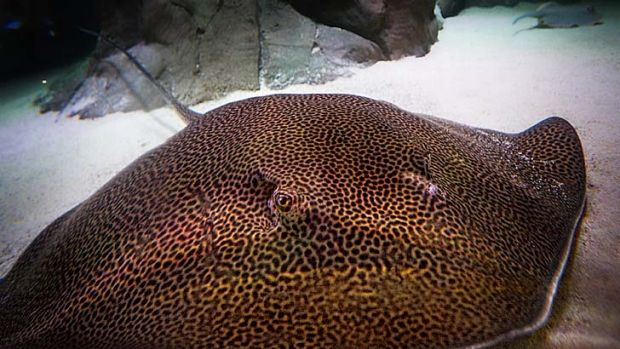 Sydney Aquarium's leopard ray settles into its new home in the Tropical Bay of Rays habitat.