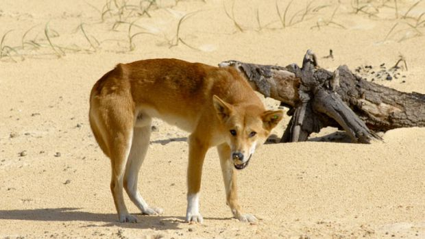 A dingo on Fraser Island, Queensland.