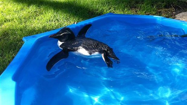 Another of the Fiordland penguins that washed up in Denmark earlier this year.